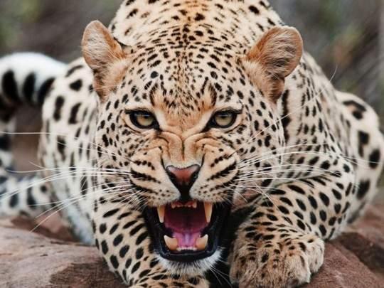 В американском зоопарке на женщину напал ягуар (видео)