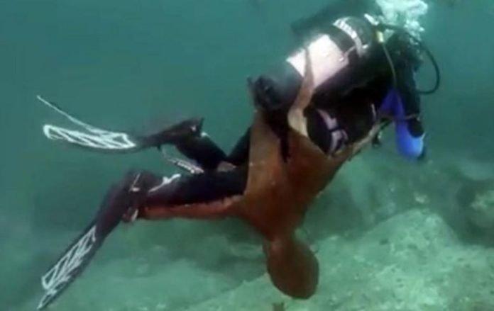 В Японском море огромный осьминог напал на аквалангиста (видео)