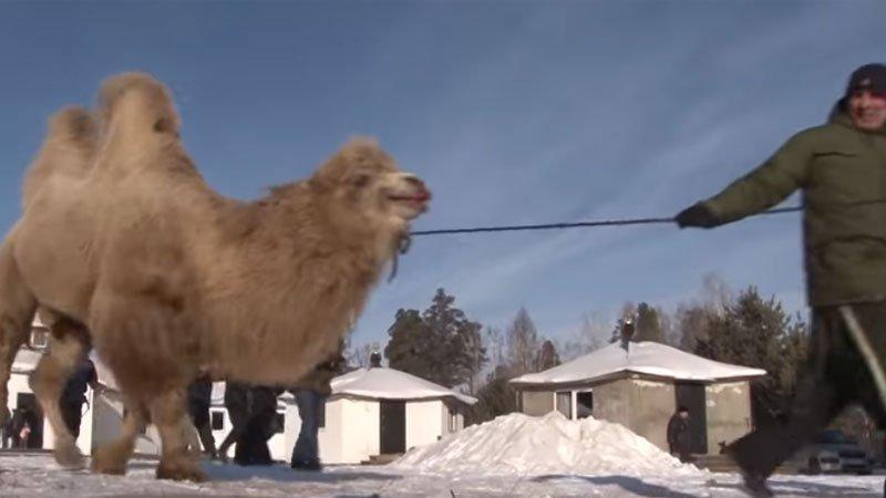 В России верблюд устроил ЧП на железной дороге